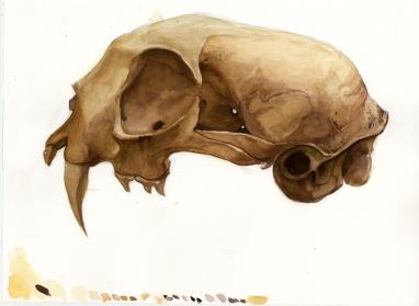 Dan Nacu: Bobcat skull